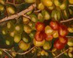 Coffee Berries III